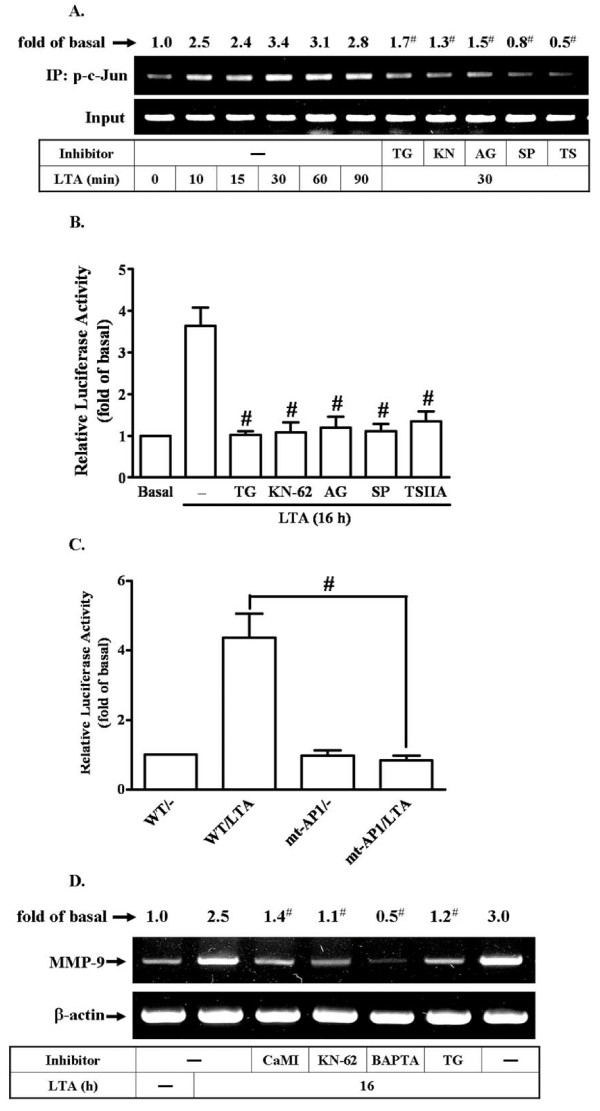 c-Jun/AP-1 binding element is essential for LTA-induced MMP-9 expression through a Ca 2+ /CaMKII/PDGFR/PI3K/JNK pathway in RBA-1 cells . (A) Time dependence of LTA-stimulated c-Jun/AP-1 binding activity. RBA-1 cells were incubated with 50 mg/ml LTA for the indicated time intervals, or cells were pretreated with TG, KN-62, AG1296, SP600125, or TSIIA for 1 h and then incubated with 50 mg/ml LTA for 30 min. c-Jun/AP-1 binding activity was analyzed by chromatin-IP (ChIP)-PCR assay. (B) Cells were transiently cotransfected with pGL-MMP9-Luc and pGal encoding for b-galactosidase for 24 h. The pGL-MMP-9-Luc-transfected cells were pretreated with TG, KN-62, AG1296, SP600125, or TSIIA for 1 h and then incubated with LTA for 16 h. (C) Activation of wild-type (WT) and AP-1-mutated (mt-AP1) MMP-9 promoter constructs by LTA. Cells were cotransfected with respective promoter constructs for 24 h and then incubated with 50 μg/ml LTA for 16 h. The values for beetle luciferase were normalized to that of b-galactosidase activity. (D) Cells were pretreated with CaMI, KN-62, BAPTA, or TG for 1 h and then incubated with LTA for 16 h. Total RNA were extracted and analyzed by RT-PCR. Data are expressed as mean ± SEM (B, C) or mean (A, D) of three independent experiments (n = 3). * P