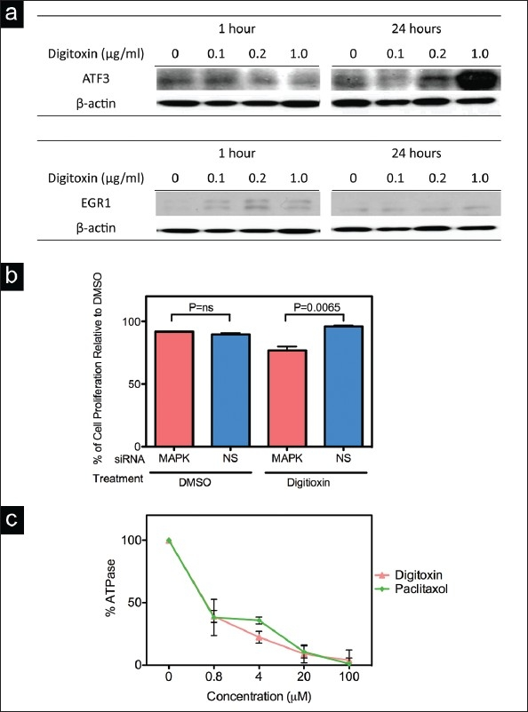 a) Effects of digitoxin on the level of ATF3, EGR1 protein. MDA-MB-453 cells were treated with 0, 0.1, 0.2 or 1 μ g/ml of digitoxin and after 1 and 24 h extracts were prepared and analyzed by Western blotting; an antibody to β-actin was used as a loading control. b) siRNA to ERK2. Cell were pretreated with control (nonsilencing) or MAPK1 (ERK2) siRNA for 24 h, exposed to digitoxin (0.4 μg/ml) for 24 h and percent inhibition of cell proliferation determined by the MTT assay. Percentages are normalized to DMSO. c) Inhibition of <t>Na+-K+-ATPase</t> activity in response to increasing concentrations of <t>paclitaxel</t> or digitoxin. The Na+-K+-ATPase assay was performed as described in Materials and Methods. The DMSO controls contained 3.3% DMSO. BARS: SD of triplicate assays.