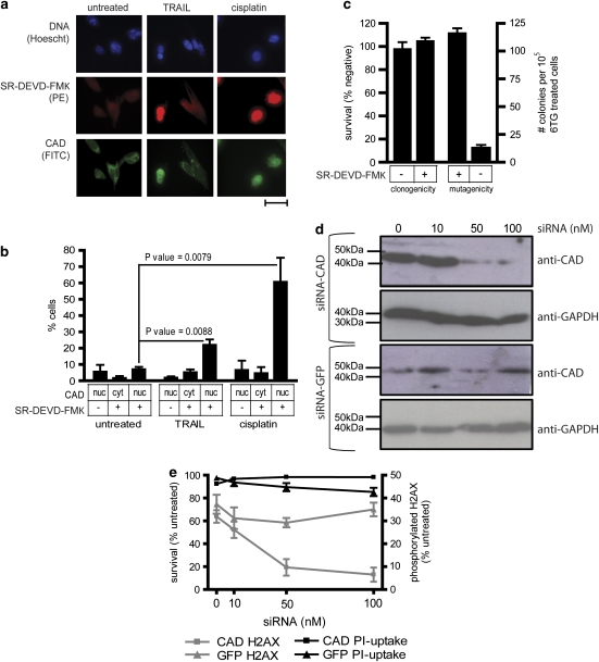 Caspase-activated CAD is required for TRAIL to provoke mutations in surviving cells. ( a ) Fluorescent microscopy was used to investigate CAD localization and SR-DEVD-FMK binding, as a measure of caspase-3/7 activation, in untreated MEF cells or cells incubated for 24 h with cisplatin (5.4 μg/ml) or cross-linked TRAIL (300 ng/ml). The scale bar is 100 μm. ( b ) The proportions of cells bearing nuclear CAD or SR-DEVD-FMK fluorescence after each treatment were counted. At least 250 cells were scored for each treatment per experiment for untreated and TRAIL-treated samples; at least 100 cisplatin-treated cells were scored per experiment. Error bars indicate s.e.m. from four, three or seven replicates of untreated, cisplatin-treated or TRAIL-treated cells respectively. P -values were calculated using a Student's t -test. ( c ) After exposure to 300 ng/ml cross-linked TRAIL for 24 h, SR-DEVD-FMK positive and negative cells were flow cytometrically sorted and their clonogenicity assayed following treatment with 300 ng/ml cross-linked TRAIL for 1 h. SR-DEVD-FMK positive and negative sorted cells were also subjected to the HPRT mutational assay, and the 6-TG-resistant clones that emerged were counted. Error bars show the s.e.m. from six or nine independent experiments for clonogenicity and mutagenicity experiments respectively. MEF cells were transfected with the indicated concentrations of small interfering RNAs targeting CAD or GFP then ( d ) subjected to immunoblotting or ( e ) treated with 300 ng/ml cross-linked TRAIL and assayed for H2AX phosphorylation. The left Y-axis and black lines represent the percentage of viable cells. The right Y-axis and gray lines show the proportion of cells bearing phosphorylated H2AX. Error bars indicate s.e.m. from three independent experiments.