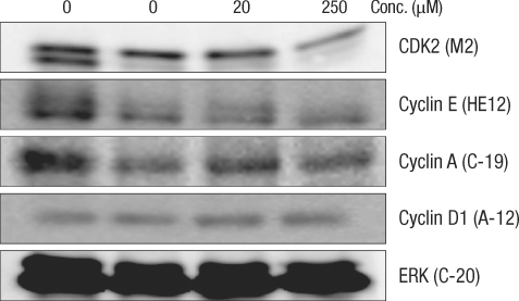 Change of cell-cycle-related proteins in human colonocytes after incubation for 24 hours with deoxycholic acid based on a Western blot analysis. Conc., concentration; ERK, extracellular signal-regulated kinase.