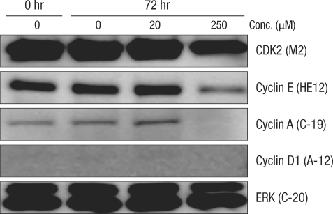 Comparison of the change in cell-cycle-related proteins in the Caco-2 colorectal cancer cell-line after incubation for 72 hours with deoxycholic acid based on a Western blot analysis. Conc., concentration; ERK, extracellular signal-regulated kinase.