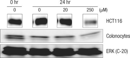 Comparison of the change of Cdk2 protein after incubation for 24 hours with deoxycholic acid in human colonocytes and HCT116 colon cancer cells by Western blot analysis. ERK, extracellular signal-regulated kinase.