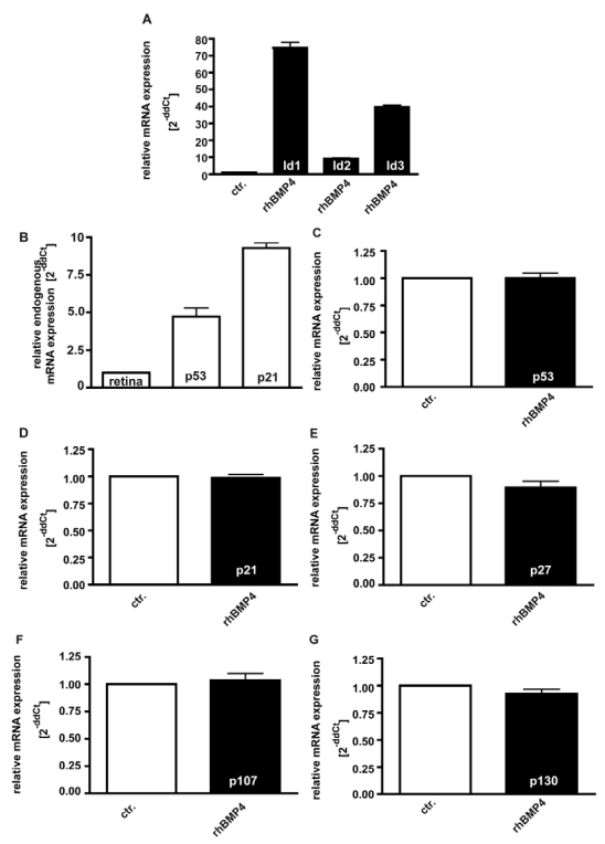Induction of Id1-3 ( A ), endogenous expression of p21 and p53 ( B ), and expression of p53 ( C ), p21 ( D ), p27 ( E ), p107 ( F ) and p130 ( G ) upon recombinant BMP4 administration to cell cultures 24hrs after administration of 40ng/ml recombinant BMP4. Messenger RNA expression levels of Id1, Id2 and Id3 are significantly up-regulated in WERI-Rb-1 ( A ) upon a BMP4 administration, whereas no changes in p53, p21, p27, p107 and p130 expression level were detectable ( C-G ). Endogeneous levels of p21 and p53 are, however, elevated in WERI-Rb1 cells ( B ). Data were gained from real-time PCR analyses of three independent experiments. Cells that were only treated with 0.1% BSA in 4mM HCl, the solvent for recombinant human BMP4, were taken as a control (ctr.) group for A and C-G , healthy human retina was used as a reference in B and the expression level was set as 1, respectively.