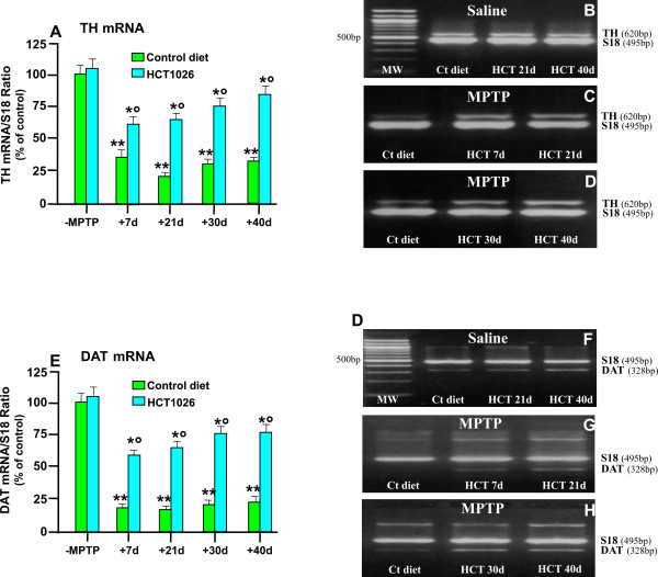 HCT1026 inhibits MPTP-induced loss of striatal TH and DAT mRNAs expression . Ageing (9-11 month-old) C57Bl/6 mice fed with a control (ct) or HCT1026 diets (30 mg kg -1 ) starting at -10 d, underwent an MPTP treatment according to the subchronic injection paradigm, as described. Age-matched mice fed with the different diets received physiologic saline and served as controls. Mice were sacrificed at different time-intervals after MPTP. Striatal tissue samples were processed for semi-quantitative RT-PCR analysis as described. Total RNA isolated and cDNA synthesized using Retroscript Kit (see Materials and Methods) following the manufacturer's directions. The 250 ng of cDNA were used for PCR, by using Super Taq DNA polymerase with specific primer pairs for TH (620 bp) and DAT (328 bp), and Classic S18 Standard (495 bp). Samples from PCR reactions were separated electrophoretically on 2% agarose gel containing 0,2 μg/ml of ethidium bromide (B-D, F-H). Fluorescent bands of amplified gene products were captured by using Gel Logic 200 Imaging System (Kodak), values normalized against S18 and ratios expressed as percent of control, within each experimental group (A, E). Differences were analyzed by ANOVA followed by Newman-Keuls test, and considered significant when p