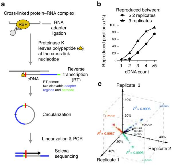 iCLIP identifies hnRNP C cross-link nucleotides on RNAs. (a) Schematic representation of the iCLIP protocol. After UV irradiation, the covalently linked RNA is co-immunoprecipitated with the RNA-binding protein (RBP) and ligated to an RNA adapter at the 3′ end. Proteinase K digestion leaves a covalently bound polypeptide fragment on the RNA that causes premature truncation of reverse transcription (RT) at the cross-link site. The red bar indicates the last nucleotide added during reverse transcription. Resulting cDNA molecules are circularized, linearized, PCR-amplified and subjected to high-throughput sequencing. The first nucleotides of each sequence contain the barcode followed by the nucleotide where cDNAs truncated during reverse transcription. (b) Reproducibility of cross-link nucleotide positions. Percentage of cross-link nucleotides with a given cDNA count that were identified in at least two (circles) or all three experiments (triangles) are shown. The percentage of reproduced cross-link nucleotides increased with the incidence of hnRNP C cross-linking (cDNA count). (c) Reproducibility of sequence composition at cross-link nucleotides. Frequencies of pentanucleotides overlapping with cross-link nucleotides are shown for the three replicate experiments ( R 2 = 0.9996, R 2 = 0.9987 and R 2 = 0.9996) with the sequence shown for the four most highly enriched pentanucleotides. 42% of cross-link nucleotides overlap with UUUUU in all three replicate experiments.