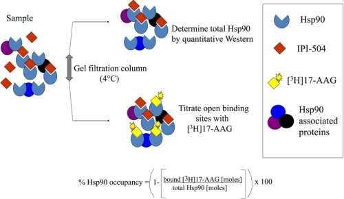 Schematic representation of the Hsp90 occupancy assay. A drug-treated cancer cell lysate (sample) was passed over a gel filtration spin column at 4 °C, and the sample was split into two aliquots. In one sample, total Hsp90 was determined by quantitative immunoblotting using separate antibodies to detect both Hsp90α and Hsp90β isoforms. In the second sample, open Hsp90 binding sites were titrated with [ 3 H]17-AAG at 4 °C. Percent of Hsp90 occupancy was calculated from a ratio of Hsp90 open binding sites to total Hsp90.