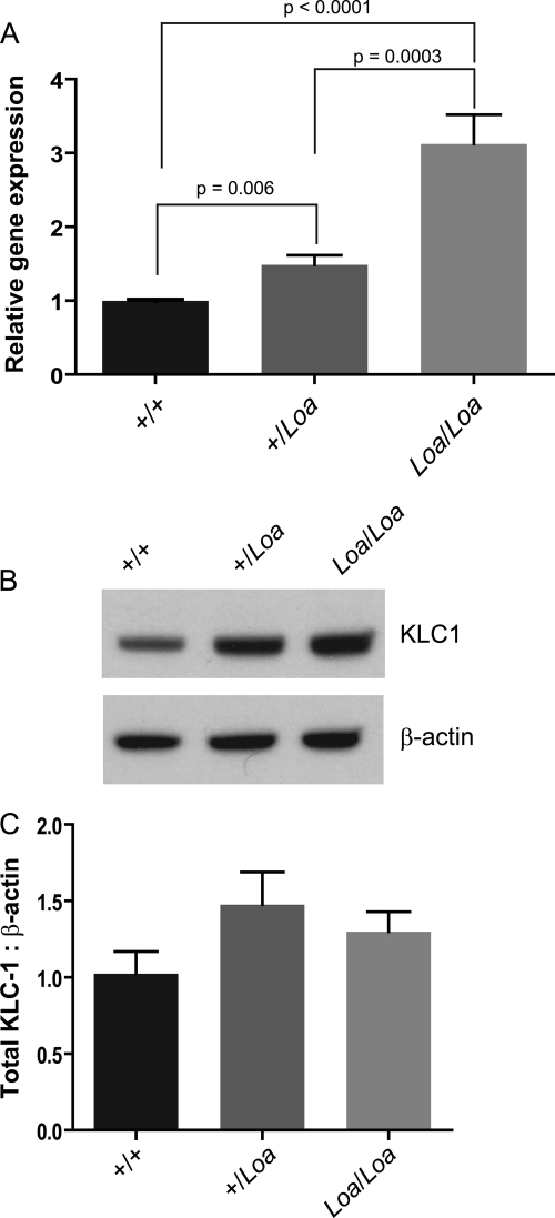 KLC1 is up-regulated in Loa . A , RNA was extracted using a NucleoSpin II RNA extraction kit from at least three E13 brains from each genotype. cDNA was generated with the Promega reverse transcription system, SYBR Green master mix, and a Stratagene <t>Mx4000</t> <t>qPCR</t> system was used for analysis. qPCR analysis revealed up-regulation of KLC1 in +/ Loa ( p = 0.006) and Loa / Loa ( p