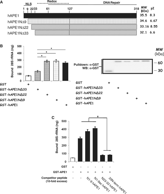 Mapping of the RNA-binding domain of hAPE1. ( A ) Schematic representation of the hAPE1 deletion mutants used. ( B–D ) An amount of 120 pmol of each bait protein was incubated with 10 µg of total RNA purified from HeLa cells, as described in 'Materials and Methods' section. (B, right) After GST pull-down, samples underwent either western blot analysis using an anti-GST antibody or RNA extraction and quantification by reverse transcription and Q-PCR analysis using 28S rRNA specific primers. The amounts of 28S rRNA recovered were then normalized versus the amount of bait proteins and the resulting values are plotted in the histograms in which average values with SDs of three independent experiments are plotted (* P