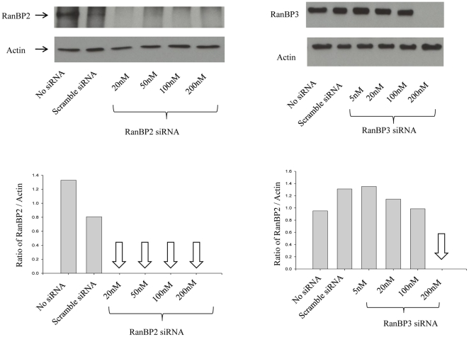 siRNA-mediated depletion of RanBP2 and RanBP3. SVGA cells were transfected either with RanBP2 siRNA or RanBP3 siRNA, respectively. In parallel, control SVGA cells were either transfected with 200 nM scrambled siRNA or without siRNA. Total proteins were extracted 72 h post siRNA transfection. Western blot analysis was performed to examine levels of RanBP2 and RanBP3, respectively. Actin was used as internal control. Image J was used to analyze the intensities of the bands.