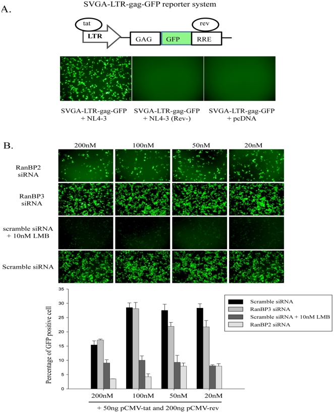 RanBP2 depletion impairs biological activities of ectopically expressed Tat and Rev HIV proteins. ( A ) Schematic diagram of Tat/Rev responsive SVGA-LTR-gag-GFP cells is shown. The cells were transfected with either 50 ng NL4-3 plasmid, or 50 ng NL4-3 (Rev-). Fluorescent images were captured 48 h post transfection. ( B ) SVGA-LTR-gag-GFP reporter cells were transfected either with RanBP2 siRNA, RanBP3 siRNA (negative control) or scrambled siRNA (control). 48 h later, the cells were then co-transfected with 50 ng pCMV-Tat and 200 ng pCMV-Rev. In parallel, Leptomycin B was used as positive control and was added 4 h after the transfection of reporter cells (pre-transfected with scrambled siRNA) with pCMV-Tat and pCMV-Rev. The images were captured and GFP positive cells were analyzed by flow cytometry 48 h post plasmid transfection.