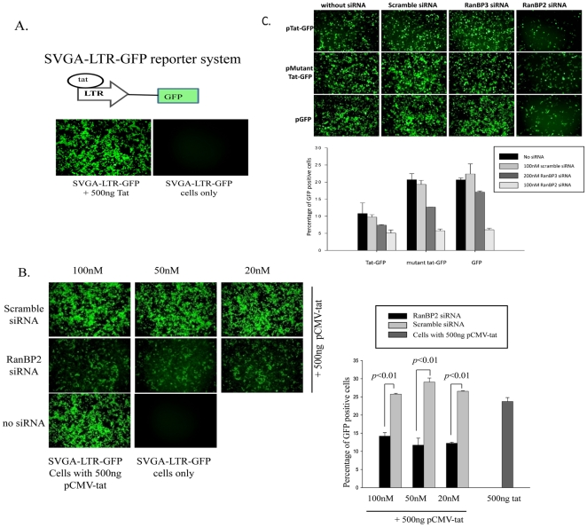RanBP2 depletion inhibits global ectopic gene expression. ( A ) Schematic diagram of Tat responsive SVGA-LTR-GFP reporter cells is shown. Cells were either transfected with 500 ng pCMV-Tat or pcDNA vector (control) and images were captured 48 h after transfection. ( B ) SVGA-LTR-GFP reporter cells were transfected either with series of concentrations of RanBP2 siRNA or scrambled siRNA. 48 h later, the cells were transfected with 500 ng pCMV-Tat. After 48 h the images were captured and GFP positive cells were analyzed by flow cytometry. ( C ) SVGA cells were transfected either with 100 nM RanBP2 siRNA, 200 nM RanBP3 siRNA or 100 nM scrambled siRNA. 48 h later, the cells were then transfected either with 100 ng pEGFP, 100 ng pTat-GFP or 100 ng pΔTat-GFP plasmids respectively. The GFP expression was examined 48 h later by capturing the images and analysis by flow cytometry.