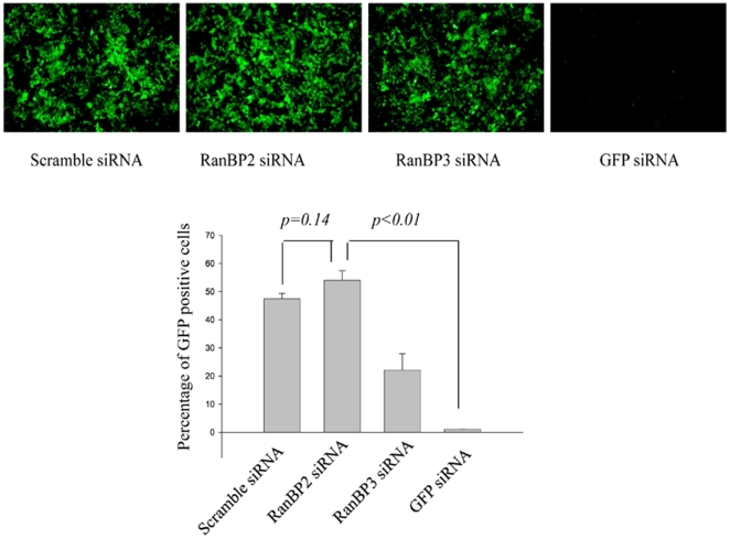 <t>RanBP2</t> depletion does not inhibit GFP expression in SVGA-GFP transgenic cells. Stable SVGA-GFP cells were transfected overnight either with 100 nM RanBP2 <t>siRNA,</t> 200 nM RanBP3 siRNA (negative control), 100 nM scrambled siRNA (control), or 100 nM GFP siRNA as a positive control. The cells were then followed up for 5 days. On day 3 images were captured and the GFP positive cells were analyzed by flow cytometry.