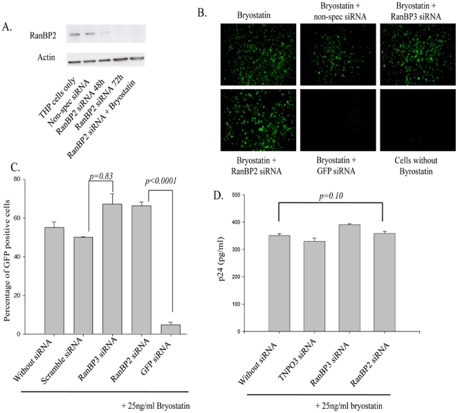 RanBP2 depletion does not interfere with nuclear export of viral mRNA species. ( A ) Latently HIV infected monocytic (THP89) cells were transfected with 100 nM RanBP2 siRNA and total proteins were extracted 48 or 72 h post transfection. Western blot analysis revealed the levels of RanBP2 protein. RanBP2 level in cells that were transfected with 100 nM RanBP2 siRNA followed by bryostatin treatment were also examined the performance on viral activity. THP89 cells either transfected with scramble siRNA or left untransfected were used controls. ( B–D ) THP89 cells were first transfected either with RanBP2 siRNA, RanBP3 siRNA, scrambled siRNA or GFP siRNA as a positive control. 48 h later, the cells were reactivated with 25 ng/ml bryostatin (potent reactivator of latent HIV infection). The GFP expression was examined 48 hrs after bryostatin treatment. ( B ) The Images were captured and ( C ) GFP positive cells were analyzed by flow cytometry. ( D ) Supernatants collected in ( B ) were analyzed for p24 levels by ELISA.