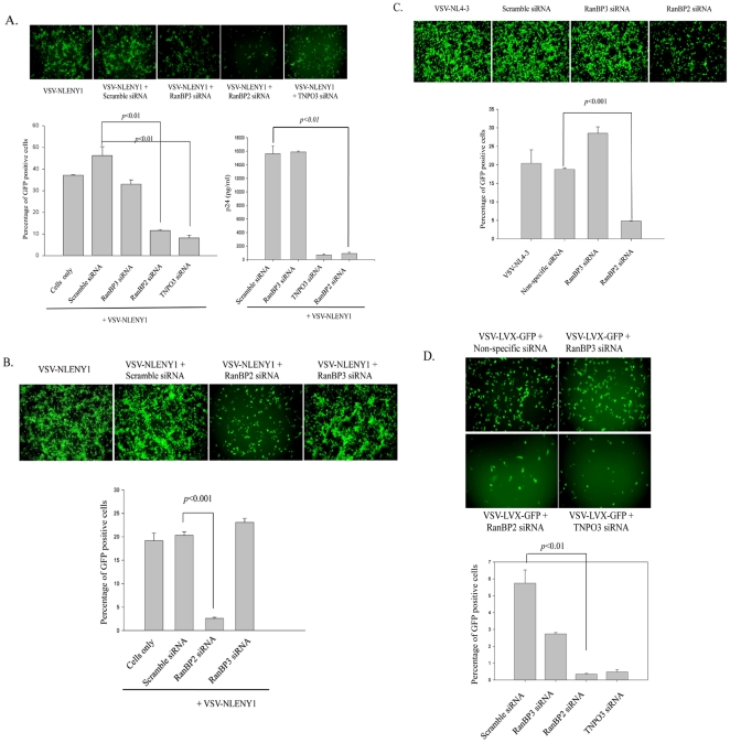 RanBP2 depletion inhibits HIV-1 replication and lentiviral vector gene expression. ( A ) Magi cells were transfected either with RanBP2 siRNA, RanBP3 siRNA (negative control), TNPO3 siRNA (positive control) or scrambled siRNA (control). 48 h later, the cells were transduced with 200 ng/ml p24 equivalent VSV-NLENY1 (recombinant HIV virus containing YFP) for 16 h. The fluorescent images were taken 48 h post transduction followed by collection of the culture supernatants for p24 (ELISA). The YFP positive cells were analyzed by flow cytometry (p