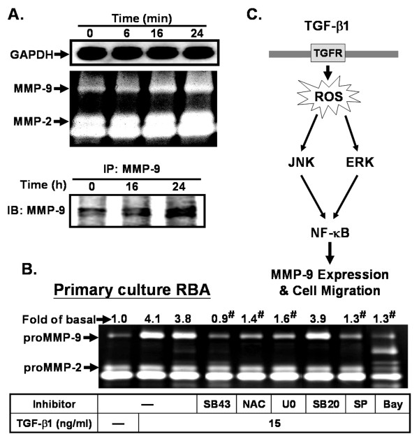 TGF-β1 induces MMP-9 expression and activation in the rat primary cultured astrocytes . (A) Time dependence of TGF-β1-induced MMP-9 expression and activation. Cells were treated with TGF-β1 (15 ng/ml) for the indicated time intervals. The conditioned media were collected and analyzed MMP-9 activity by gelatin zymography (upper panel). For MMP-9 protein level, conditioned media were immunoprecipitated with an anti-MMP-9 antibody and analyzed by western blot (lower panel). (B) Cells were pretreated with SB431542 (SB43, 10 μM), NAC (100 μM), <t>U0126</t> (10 μM), SB202190 (SB20, 10 μM), SP600125 (SP, 10 μM), or Bay11-7082 (Bay, 1 μM) for 1 h, and then treated with TGF-β1 for 24 h. (C) Schematic pathway for TGF-β1-induced ROS-dependent MMP-9 expression and cell migration in RBA-1 cells. Each solid line and arrow represents a step in an activating pathway. TGF-β1 induces MMP-9 expression via TGF-β receptor, ROS-dependent activation of ERK1/2 and JNK1/2, and transcription factor NF-κB pathway, which results in the promotion of cell migration in RBA-1 cells.