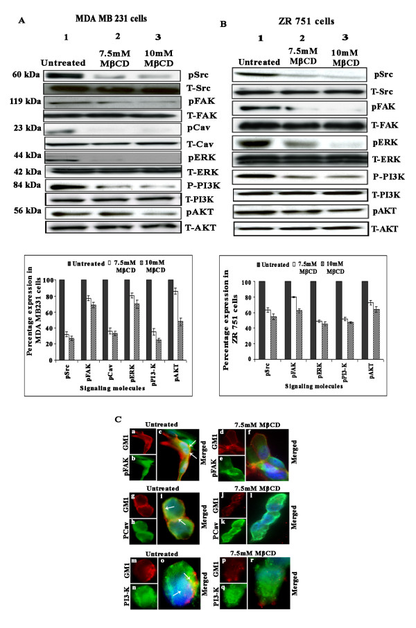 Lipid raft disruption inhibits the levels of pSrc, pFAK, pCav, pERK, pAkt, pPI3-K, and pAkt in breast carcinoma cell lines . (A) and (B) MDA-MB-231 and ZR 751 cells left untreated or pretreated with different concentrations of MβCD were subjected to Western blot analysis for total and phosphorylated forms of Src, FAK, Cav, ERK, PI3-K, and Akt. GAPDH was used to verify that similar amounts of protein were loaded in each lane. Densitometric analysis of phosphorylated molecules was done. The result provided is of a representative experiment repeated 3-4 times with concordant results (* p