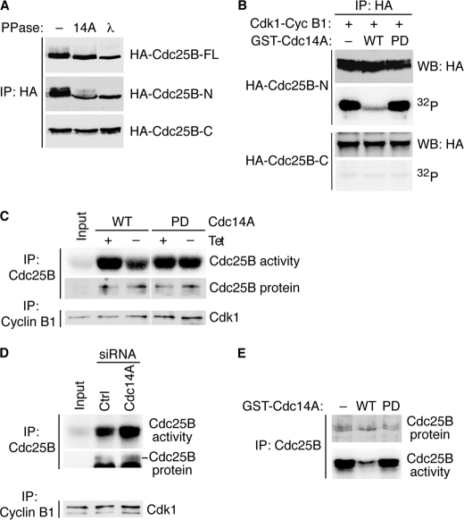 Cdc14A dephosphorylates and inhibits Cdc25B. A , full-length, N-, or C-terminal Cdc25B forms were expressed in U-2-OS cells for 24 h, immunoprecipitated with anti-HA antibody, and incubated with GST-Cdc14A or λ phosphatase. Dephosphorylation of Cdc25B was monitored by immunoblotting. B , Cdc25B-N or -C immunocomplexes, prepared as in A , were incubated with recombinant Cdk1-cyclin B1 and [γ- 32 P]ATP, and then with GST-Cdc14A or GST-Cdc14A(PD) forms. Phosphorylated proteins were visualized by autoradiography. C , U-2-OS-Cdc14A cell lines were left untreated or induced to express the transgenes for 48 h. Cells were then processed for the measurement of Cdc25B activity on Cdk1-cyclin B1 complexes, whose activation was then measured by kinase assays on histone H1. The input lane shows the activity of Cdk1-cyclin B1 not incubated with Cdc25B. D , U-2-OS cells were synchronized and transfected as described in the legend to Fig. 3 A . Cells were collected at 12 h after release and processed for Cdc25B activity analysis. The results correspond to the 12-h release samples of Fig. 3 and are representative of two independent experiments. E , Cdc25B was immunoprecipitated from U-2-OS cells and incubated with GST-Cdc14A forms. The samples were then divided and processed for the immunoblotting of Cdc25B or the measurement of Cdc25B activity.