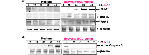 Effects of resveratrol and curcumin on IL-1β-induced NF-κB-dependent gene products in primary chondrocytes. (a) The effect of resveratrol/curcumin on IL-1β-induced NF-κB-dependent anti-apoptotic gene products in primary chondrocytes was studied. To determine whether resveratrol and curcumin treatment actively stimulates the production of anti-apoptotic gene products, primary chondrocyte cultures were either stimulated for 0, 12, 24, and 48 hours with 10 ng/ml IL-1β or pre-treated with resveratrol and curcumin (50/50 μM) followed by 0, 12, 24, and 48 hours stimulation with 10 ng/ml IL-1β. Equal amounts (500 ng protein per lane) of total proteins were separated by 10% SDS-PAGE and analysed by immunoblotting with anti-Bcl-2, anti-Bcl-xL and anti-TNF-α receptor-associated factor 1 (anti-TRAF1) antibodies. A time-dependent downregulation of the expression of Bcl-2, Bcl-xL and TRAF1 by IL-1β was observed. In contrast, pre-treatment with resveratrol and curcumin resulted in a time-dependent increase of these anti-apoptotic proteins. Synthesis of the housekeeping protein β-actin remained unaffected. (b) The effect of resveratrol/curcumin on IL-1β-induced NF-κB-dependent pro-apoptotic protein <t>caspase-3</t> was also studied in primary chondrocytes. Whole cell lysates of primary chondrocyte cultures were either stimulated for 0, 12, 24, and 48 hours with 10 ng/ml IL-1β or pre-treated with resveratrol and curcumin (50/50 μM) followed by 0, 12, 24, and 48 hours of stimulation with 10 ng/ml IL-1β-, and evaluated with western blot analysis to examine the effect on the pro-apoptotic protein caspase-3. Equal amounts (500 ng protein per lane) of total proteins were separated by 12% SDS-PAGE and analysed by immunoblotting with an antibody against active caspase-3. Stimulation of the cultures with IL-1β resulted in a time-dependent activation of caspase-3. In contrast, combinational treatment of resveratrol and curcumin inhibited caspase-3 activation in a time-dependent manner. Synt