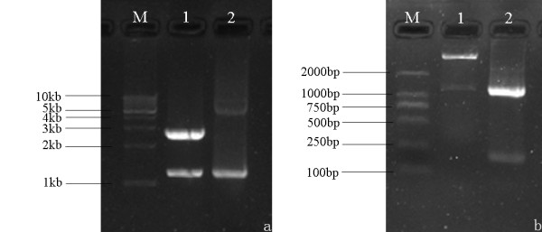 Identification and characterization of <t>pMD18-T/gC</t> and pET32a-gC with restriction enzyme and PCR-based amplification. (a) Identification of pMD18-T/gC with restriction enzyme and PCR-based amplification. Lanes: 1, pMD18-T/gC digested with <t>EcoRI</t> and XhoI; 2, product amplified from pMD18-T/gC. M, DNA marker. (b) Characterization of the recombinant plasmid pET32a-gC by restriction digestion and PCR-based amplification. Lanes: 1, pET32a-gC digested with EcoRI and XhoI; 2, product amplified from pET32a-gC. M, DNA marker, marker III.