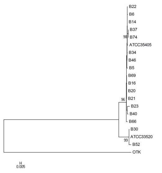 Evolutionary relationships of T. denticola msp gene, deduced from the sequences of 17 clinical samples, ATCC 35405, ATCC 33520, and OTK . The phylogenetic analysis was performed using the neighbor-joining method with MEGA 4 on aligned sequences from the msp complete cds sequence (bootstrap values > 75 are shown at nodes).