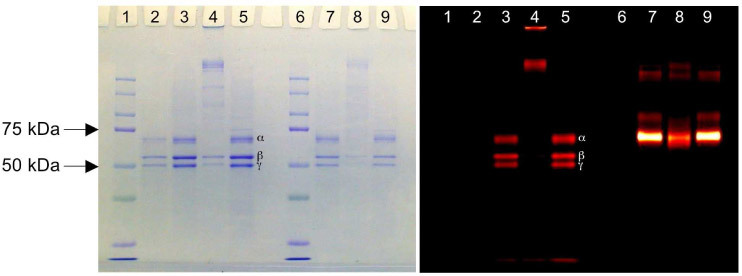 SDS-PAGE gel images showing Coomassie blue staining (left panel) and NIR fluorescence (right panel) for the same gel. Lanes 1 and 6 are protein MW standards. Lane 2 is unlabeled hFg only. Three major bands (from top to bottom) represent α (63.5 kDa), β (56 kDa), and γ (47 kDa) chains, respectively. Lanes 3–5 and 7–9 are protein with NIR labels (3–5: hFG and 7–9: BSA) Lanes 3 and 7 have no TG2. Lanes 4 and 8 are incubated with TG2. Lanes 5 and 9 are incubated with both TG2 and EDTA. EDTA inhibits the cross-linking reaction of TG2.
