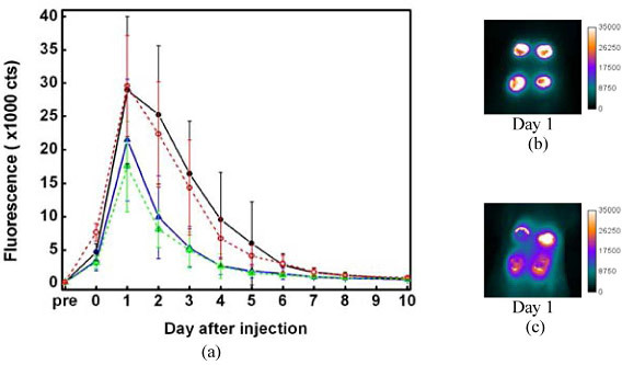 """(a) Plot of fluorescence intensity vs. time. The intensities were integrated from the wound individually. 8-12 wounds were inspected. The error bars describe the standard deviations of the intensity distribution. Solid lines represent the fluorescence changes for administration of the labels 1 hr after wound creation. Dashed lines are for administration of the labels 24 hrs after wound creation. Black and red: hFg. Blue and green: BSA. (b) and (c) are """"Day 1"""" image (24 hrs after label administration) of the wound, for which the labels were injected into rat 24 hrs after wound creation. (b) is for hFg label. (c) is for BSA label."""