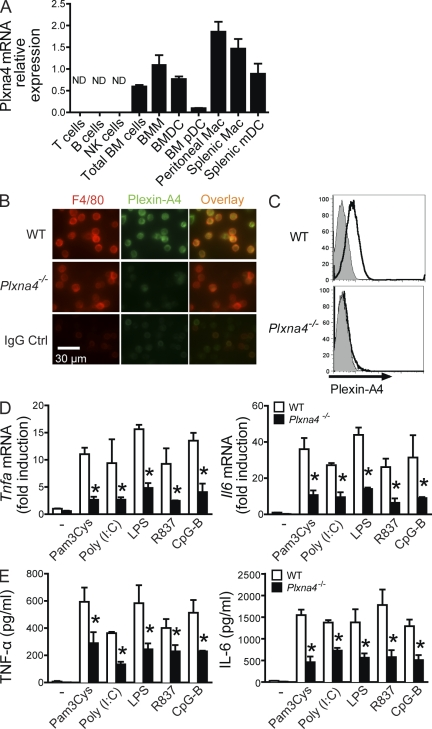Plexin-A4 is required for TNF and IL-6 production in macrophages. (A) Expression of Plxna4 mRNA in different immune subpopulations was normalized to Actb mRNA level. T cells, B cells, NK cells, BM pDCs, and splenic mDCs were isolated by FACS sorting. BMMs and BMDCs were, respectively, cultured from BM cells in the presence of L929 cell supernatant and GM-CSF plus IL-4. Macrophages were isolated by adherence for 2 h at 37°C. Results are expressed as mean ± SD. (B) Immunofluorescence staining of plexin-A4 and F4/80 in WT and Plxna4 −/− peritoneal macrophages. (C) WT and Plxna4 −/− peritoneal macrophages were stained with IgG control (gray fill) or antibody against mouse plexin-A4 (black lines). Histograms show gated CD11b + cells. The data shown in A–C are representative of two independent experiments. (D and E) Peritoneal macrophages were left unstimulated (−) or were stimulated with 5 µg/ml <t>Pam3Cys,</t> 10 µg/ml poly(I:C), 1 µg/ml ultrapure <t>LPS,</t> 10 µg/ml R837, or 4 µg/ml CpG-B for 4 h. TNF and IL-6 mRNA (D) and protein (E) were measured by RT-PCR and ELISA, respectively. The results shown in D and E are representative of five independent experiments and are expressed as mean ± SD. *, P