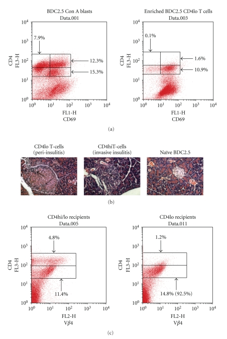 """""""CD4lo"""" T cells are present in Con A blasts produced from the spleen cells of NOD.BDC2.5 TCR transgenic mice. (a) Spleen cells from BDC2.5 TCR transgenic mice were stimulated with Con A for 72 hrs. The cells were then layered onto Ficol-Histopaque and centrifuged to recover an enriched population of the smaller """"CD4lo"""" population. The Con A blasts and the enriched """"CD4lo"""" population were cultured overnight in IL-2-supplemented medium and then stained with anti-CD4-PE and anti-CD69 FITC for FACS analysis. The numbers in the dot plots indicate the percentage of total cells that are within a region. A total of 20,000 events were collected for each plot. (b) 5 × 10 6 """"CD4lo""""-enriched or """"CD4hi""""-enriched T cells were each adoptively transferred into 6 NOD.scid mice. As a control, untreated BDC2.5 TCR Tg spleen cells were also transferred into a control group of NOD.scid mice. Ten days later the pancreas was recovered from at least two mice per group, fixed, embedded, and cut into 5 micron sections that were subsequently stained with hematoxylin and eosin. The sections were viewed and photographed by a blinded observer. At least 50 islets were counted for each group to evaluate the pattern of insulitis. The arrows point to areas of inflammation, peri-insulits, which was predominant in """"CD4lo"""" T cell recipients, and invasive insulitis, which was representative of most islets in recipients of """"CD4hi"""" T cell recipients. The remaining mice were monitored for the development of diabetes as described in the Methods. (c) Spleen cells were recovered from the recipients in (b), stained with anti-CD4-PE and anti-TCR V beta 4-FITC, and then 100,000 events were collected during FACS analysis. The data in the dot plot were gated on viable cells (FSC × SSC). The numbers indicate the percentage of cells in the region. The number in the parentheses for the """"CD4lo"""" recipients indicates the percentage of """"CD4lo"""" cells in the total CD4 + population."""