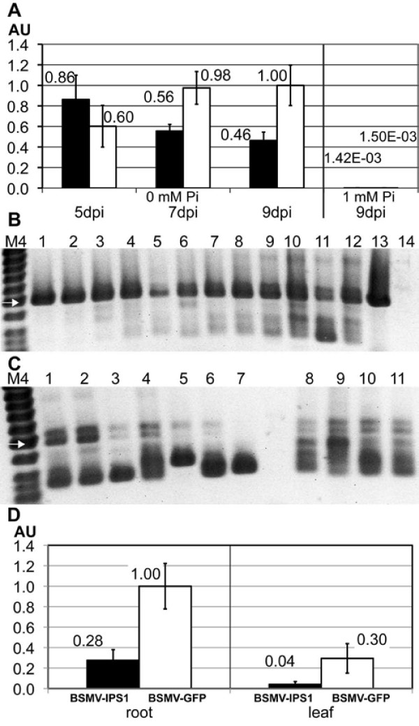 Silencing of HvIPS1 in barley roots and shoots . A HvIPS1 RNA expression levels in root tissue determined by qRT-PCR (normalization to ubiquitin). Plants inoculated with BSMV-IPS1 (black bars) or BSMV-GFP 250 (white bars). Plants were grown in 0 (5, 7, 9 dpi) or 1 mM Pi (9 dpi) and harvested at 5, 7, or 9 dpi. Each bar represents three samples (with one exception - only two samples for the 0 Pi, GFP, 9dpi bar). Error bars denote standard deviations. AU - Arbitrary units. B Stability of the BSMV-IPS1 construct in roots of inoculated plants. cDNA prepared for qRT-PCR (A) was used for PCR with primers flanking the insert. Lanes 1, 2, 3: 0 mM Pi, 5 dpi; 4, 5, 6: 0 mM Pi, 7 dpi; 7, 8, 9: 0 mM Pi, 9 dpi; 10, 11, 12: 1 mM Pi, 9 dpi; 13: plasmid containing BSMVγ-IPS1; 14: water control. M4: GeneRuler 50 bp DNA Ladder (Fermentas); white arrow represents DNA fragment of 500 bp; bands below are 400, 300, and 250 bp. C Stability of the BSMV-GFP 250 construct in roots of inoculated plants. cDNA prepared for qRT-PCR (panel A) was used for PCR with primers flanking the insert. Lanes 1, 2, 3: 0 mM Pi, 5 dpi; 4, 5, 6: 0 mM Pi, 7 dpi; 7, 8: 0 mM Pi, 9 dpi; 9, 10, 11: 1 mM Pi, 9 dpi. D HvIPS1 RNA expression levels in root and shoot tissue determined by qRT-PCR (normalization to ubiquitin). BSMV-IPS1 (black bars), BSMV-GFP 250 (white bars). Plant were grown in 0 mM Pi and harvested at 9 dpi. Each bar represents five samples. Error bars denote standard deviations.