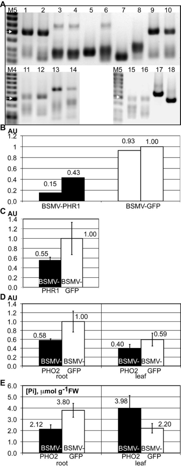 BSMVγ constructs selected for relative stability also produce successful gene silencing in barley roots . A RT-PCR analysis of the stability of BSMVγ constructs in barley roots. Expected lengths for the PCR products are presented in brackets. Lanes 1, 2: BSMV-IPS1 (493 bp); 3, 4: BSMV-Pht1;1 (610 bp); 5, 6: BSMV-Pht1;4 (616 bp); 7, 8: BSMV-Pht1;7 (623 bp); 9, 10: BSMV-PHR1 (495 bp); 11, 12: BSMV-PHO2 247 (511 bp); 13, 14: BSMV-PHO2 387 (651 bp); 15, 16: GFP 250 (492 bp); 17: control plasmid carrying BSMVγ-GFP 375 (617 bp); 18: control plasmid carrying BSMVγ-IPS1 (493 bp); M4: GeneRuler 50 bp DNA Ladder (Fermentas); M5: O'GeneRuler 50bp DNA Ladder (Fermentas). White arrow represents DNA fragment of 500 bp; bands below are 400, 300, and 250 bp. B and C HvPHR1 expression levels in root tissue determined by qRT-PCR, normalization to 18 S rRNA. BSMV-PHR1 (black bars), BSMV-GFP 250 (white bars). Samples in B are identical to those shown in A, lanes 9, 10 and 15,16. In C, each bar represents five independent samples. AU - arbitrary units; error bars denote standard deviations. D HvPHO2 expression levels in root and leaf tissue determined by qRT-PCR, normalization to 18 S rRNA. BSMV-PHO2 247 (black bars), BSMV-GFP 250 (white bars). E As D, but bars represent Pi content in inoculated plants (in μmol Pi/g of fresh weight).
