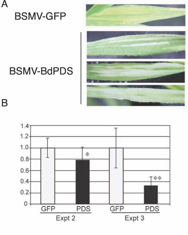 Silencing of BdPDS in B. distachyon leaves A Leaves of B. distachyon infected with BSMV-GFP 375 or BSMV-BdPDS. B BdPDS RNA expression levels in experiments 2 and 3 (Table 1) determined by qRT-PCR (normalization to 18 S rRNA). Plants were inoculated with either BSMV-BdPDS (black bars) or BSMV-GFP 375 (white bars). From left to right, the bars represent 16, 13, 6 and 6 samples, respectively. Error bars denote standard deviations. AU - Arbitrary units. Significantly differences: * ( p