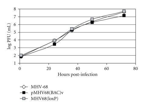 pMHV-68(BAC)v and MHV-68(loxP) displayed similar growth curves to wild-type MHV-68 in vitro . BHK-21 cells were infected with each virus at an MOI of 0.05. The viral titers in cells and the supernatants harvested at various times after infection were determined by plaque assays.