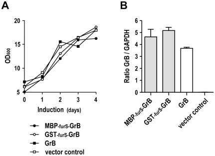 Growth kinetics of yeast clones and GrB mRNA expression. (A) Cultures of P. pastoris carrying pPIC9-GrB, pPIC9-GST-furS-GrB, pPIC9-MBP-furS-GrB, or empty pPIC9 vector were induced with methanol. Samples were taken every 24 h, and OD 600 was determined as a measure for cell density. (B) Quantification of GrB mRNA levels. RNA was isolated from yeast cells carrying pPIC9-GrB, pPIC9-GST-furS-GrB, pPIC9-MBP-furS-GrB, or empty pPIC9 vector after induction with methanol for one day. cDNA was synthesized and analyzed by quantitative real-time PCR including GAPDH for normalization. Means of duplicate samples are shown. Error bars indicate SD.