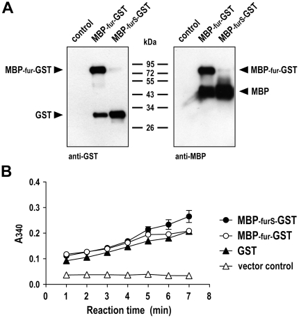 Processing and enzymatic activity of MBP-GST fusion proteins. (A) Culture supernatants of representative yeast clones carrying pPIC9-MBP-fur-GST or pPIC9-MBP-furS-GST were collected after induction with methanol for 3 days, and expression and processing of the MBP-GST fusion proteins was analyzed by immunoblotting with GST-specific (left panel) or MBP-specific antibody (right panel). Supernatant of yeast cells carrying empty pPIC9 served as a control. (B) Enzymatic activity of MBP-GST fusion proteins and kinetics of conjugation of glutathione to synthetic CDNB substrate was analyzed in a colorimetric assay. The MBP-fur-GST or MBP-furS-GST containing supernatants analyzed in (A) were tested as indicated. Commercially available recombinant GST was included as a positive control. Supernatant of yeast cells carrying empty pPIC9 served as negative control. Means of triplicate samples are shown. Error bars indicate SEM.