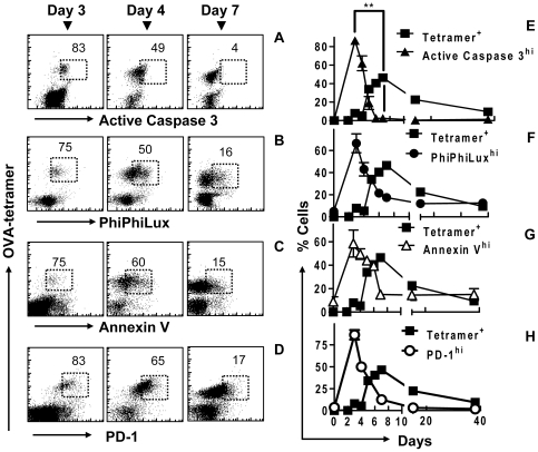 Rapidly proliferating CD8 + T cells have an apoptotic like phenotype in vivo . C57BL6/J mice were injected with 10 4 OT1 cells and infected with 10 4 LM-OVA. At various time points mice were sacrificed and splenic cells were stained and analyzed by FACS. Scatterplots show OVA-tetramer binding versus (A) active caspase, (B) PhiPhiLux cleavage by caspase-3 (PPL), (C) Annexin V binding and (d) PD-1, in cells over days 3, 4 and 7 of LM-OVA infection. The % of OVA-tetramer + CD8 + cells expressing a high level of (E▴) caspase-3, (F•) PPL cleavage, (G Δ) Annexin V binding, and (H ○) PD-1 are shown over the course of an acute OVA specific CD8 + T cell response (▪). *The decrease in apoptotic staining between day 3 and 7 shows significant linear correlation (by Pearson analysis) between active caspase-3 antibody staining and (E) PPL cleavage activity, (F) annexin V binding and (G) PD-1 expression (P