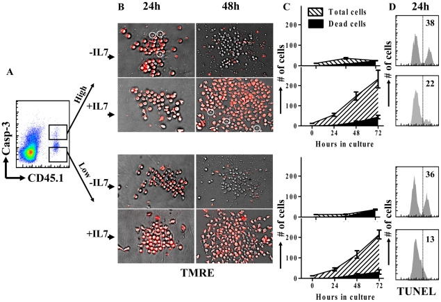 The majority of active caspase-3 hi cells do not progress to cell death during early antigen induced proliferation in vivo . Mice were parked with 10 4 CD45.1 + OT1 spleen cells and challenged with 10 4 LM-OVA (iv). Mice were sacrificed at day 5 post LM-OVA infection and CD8 + T cells were magnetically isolated by negative selection. Cells were stained with anti-CD45.1 antibody and PhiPhiLux. (A) Cells were sorted into CD45.1 + caspase-3 activity high and CD45.1 + caspase-3 activity low fractions. (B) Sorted cells were then plated at low cell densities (∼12.5 cells/well) and examined for viability during proliferation over several days using TMRE staining. (C) The total number and number of dead cells were counted directly in at least 6 replicate wells and the changes observed over 72 hours in the plates. (D) Cells were also maintained at higher concentrations (∼100 000/well) and stained for DNA cleavage (TUNEL) after 1 day in culture.