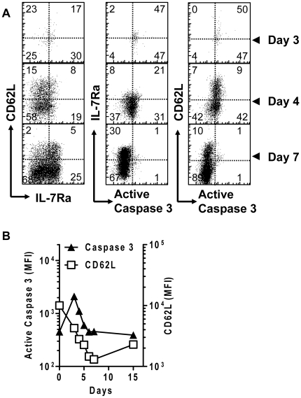The activation of <t>caspase-3</t> occurs in early activated cells before the emergence of fully differentiated effector cells. C57BL/6 mice were initially parked with 10 4 OT1 spleen cells. After infection with 10 4 LM-OVA, mice were sacrificed at various time points and spleens were harvested. Single cell suspensions were co-stained for CD8 + , OVA-Tetramer, CD62L, IL7Rα and active caspase-3. (A) Scatter plots show the relative staining of OVA-tetramer + CD8 + cells for activation markers and active caspase-3. Data is representative for at least 3 mice per time point. (B) OVA-tetramer + CD8 + T cells were examined for active intracellular active caspase-3 and surface CD62L between days 0–15 of LM-OVA infection. (data is representative for 3 mice per timepoint).