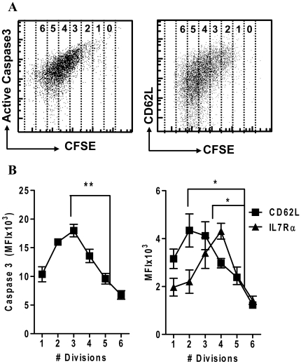 Caspase 3 and CD62L expression is progressively lost as proliferation proceeds. 10 4 OT1 splenocytes were stained with CFSE and injected in C57BL/6 recipient mice concurrently with LM-OVA challenge. After 3, 4 and 5 days, mice were sacrificed (3 per time point) and spleen cells stained for expression markers. (A) Scatterplots show expression of active caspase-3 versus CFSE and CD62L in OVA-tetramer + CD8 + T cells after 4 days in vivo. (B) OVA specific CD8 + T cells were gated for division number based on CFSE dilution. Cells show a significant, coordinate decrease in the expression of active caspase-3 and CD62L/IL7Rα as cell proliferation proceeds (***P