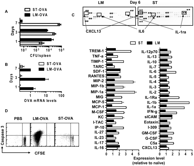 Caspase-3 is induced by antigen, not inflammation in vivo . B6129F1 mice were parked with 10 4 OT1 spleen cells, then infected with ST-OVA or LM-OVA (10 3 , iv) and sacrificed at several time points between days 4 and 60 post-infection. Splenic suspensions were analyzed for (A) bacterial load by CFU, (B) bacterial OVA mRNA expression by qRT-PCR, and (C) the relative induction of 40 cytokines/chemokines by cytokine proteome array (day 6). (D) CFSE labeled OT1 cells were injected into B6129F1 mice that were challenged with LM-OVA or ST-OVA, and the proliferation and caspase 3 expression of OVA-specific evaluated at day 5 after infection. Scatter plots show data obtained from gated OVA specific CD8 + T cells. Data shown is representative for at least 3 mice per timepoint.