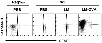 Caspase-3 activation does not occur during rapid homeostatic proliferation in vivo. Rag1-/- mice were injected with 10 4 CFSE stained OT1 cells. WT mice were injected with 10 5 CFSE stained OT1 cells concurrent with PBS, LM or LM-OVA (10 4 , iv). Four days later mice were sacrificed and spleen cell suspensions stained with anti-CD8 antibody, OVA-tetramer, followed by intracellular staining with anti-caspase-3 antibody. Scatterplots show data obtained from gated OVA specific CD8 + T cells and is representative of 3 mice per group.
