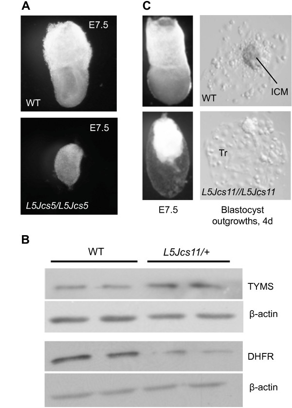 Phenotypes of L5Jcs5 and L5Jcs11 mutants . (A) Light micrographs of E7.5 WT and L5Jcs5/L5Jcs5 littermates taken at same magnification (8×). (B) Western blots of liver protein probed with <t>anti-TYMS,</t> <t>DHFR,</t> and beta actin. Each lane contains protein from separate animals. (C) Light micrographs of whole mount E7.5 WT and L5Jcs11/L5Jcs11 embryos, plus representative images of blastocyst outgrowths from the indicated genotypes. The mutant embryo is magnified 1.5 X compared to the WT. Notice that there is no evidence of growth of the embryo proper. ICM = Inner cell mass. Tr = trophectoderm.