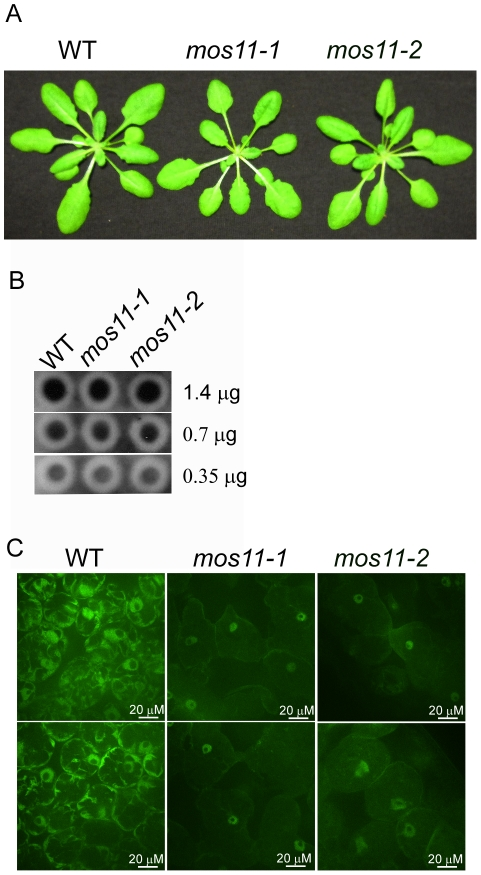 mRNA export is impaired in mos11 plants. (A) Morphology of 4-week-old soil-grown WT, mos11-1 and mos11-2 plants. (B) Dot blot of WT, mos11-1 and mos11-2 . The same amount of WT, mos11-1 , and mos11-2 total RNA were applied to the Hybond-N+ membrane and hybridized by 32 P-ATP labeled 18-mer oligo dT. The amount of total RNA loaded to each dot was indicated on the right of the blot. The radioactive signal was detected by a phosphor-imager. (C) Whole mount in situ mRNA localization of 7-day-old seedlings probed with 48-mer oligo d(T) labeled with Alexa 488. Observations were done at 63× magnification and microscope settings were identical for all samples.
