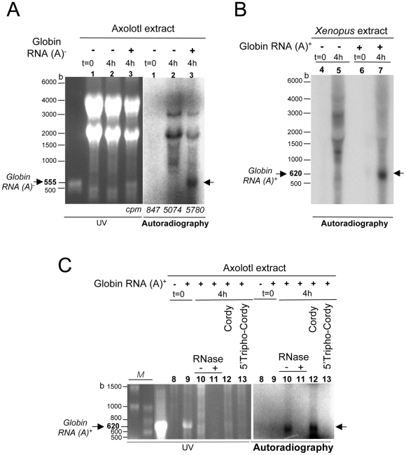 A radiolabelled RNA comigrates with the exogenous RNA added to the extract. Reactions were performed during 4 hr with axolotl (A : lanes 1–3. C : lanes 8–13) or Xenopus (B : lanes 4–7) LSE in the presence of [α– 32 P] CTP, in the presence (+) or absence (−) of 10 µg of in vitro transcribed Xenopus globin 3′UTR poly (A) − (555 b; lanes 1–3 and 8–13) or poly (A) + (620 b; lanes 4–7) RNA and in the presence of 2.5 mM cordycepin (lane 12) or cordycepin 5′-triphosphate (lane 13) or not (lanes 1–11). After incubation, samples were treated at 37°C during 1 hr with 10 mg/mL RNase A (lane 10) or not, RNA was extracted and processed according to the same protocol as in figure 3 . The radioactivity corresponding to 1/10 of the reaction analyzed by TCA precipitation is indicated in A (counts per minute : cpm). In vitro synthesized Xenopus globin 3′UTR poly(A) − (555 b) or poly(A) + (620 b) RNA analyzed in parallel are shown in the UV part of A and C respectively. Migration lengths of RNA size markers (M lanes in C) are indicated in bases (b).