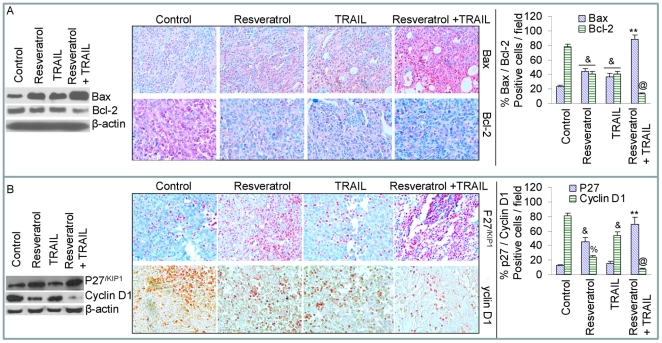 Effects of resveratrol and/or TRAIL on Bcl-2 family members and cell cycle regulatory proteins. (A), Western blot analysis was performed to measure the expressions of Bax and Bcl-2 in tumor tissues derived from control, resveratrol and/or TRAIL treated mice on week 6 (left panel). Immunohistochemistry was performed to measure the expressions of Bax and Bcl-2 in tumor tissues derived from control and drug treated mice on week 6 (middle panel). Quantification of Bax and Bcl-2 positive cells in tumor cells (right panel). (B), Western blot analysis was performed to measure the expressions of p27 /KIP1  and cyclin D1 in tumor tissues derived from control and drug treated mice on week 6 (left panel). Immunohistochemistry was performed to measure the expressions of p27 /KIP1  and cyclin D1 in tumor tissues derived from control and drug treated mice on week 6 (middle panel). Quantification of p27 /KIP1  and cyclin D1 positive cells in tumor tissues (right panel).