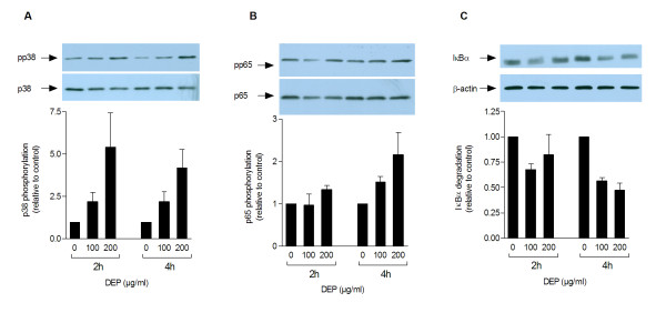 DEP-induced phosphorylation of p38 (A), phosphorylation of p65 (B) and degradation of IκBα (C) . Human bronchial epithelial BEAS-2B cells were exposed to increasing concentrations of DEPs (0, 100, 200 μg/ml) for 2 or 4 h before Western analysis. Each figure displays a representative blot and optical quantification of the protein bands from separate replicate experiments. Detected levels of phosphorylated p38 and p65 and the levels of IκBα are respectively normalised against total p38, p65, or β-actin, and are presented as fold increase (mean ± SEM, n≥3) compared to unexposed cells.