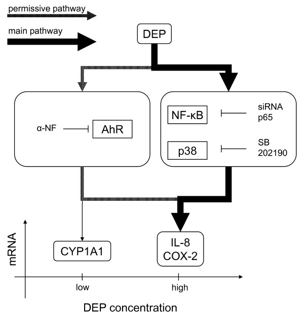 Proposed model for DEP-induced expression of IL-8, COX-2 and CYP1A1, based on the presented findings . DEP-induced mRNA expression of CYP1A1 in BEAS-2B cells occurs at much lower DEP-concentrations than the concentrations necessary to induce mRNA expression of IL-8 and COX-2. Activation of AhR and expression of CYP1A1 mRNA seem essential in facilitating the DEP-induced expression of IL-8 and COX-2 mRNA via a permissive pathway (required, but not decisive for the strength of the response), not involving p38 and NF-κB/p-65. However, the p38 and p65 pathways seem crucial in DEP-induced expression of COX-2 and IL-8 mRNA, via a major pathway.