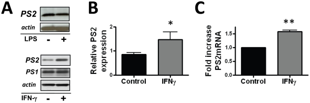 PS2 protein is increased in microglia activated by <t>IFNγ.</t> A) Western blot analysis demonstrating the PS2 C-terminus migrating at ∼20 kDa. Twenty-four hour stimulation with 10 u/ml IFNγ induces increased levels of PS2 expression in lysates prepared from primary microglia, while 100 ng/ml <t>LPS</t> does not induce PS2 expression. B) Quantitative densitometry on Western blots of lysates from 4 independent cultures shows significantly increased induction of PS2 by IFNγ. Data represent the mean ± SEM of 4 independent experiments (*p