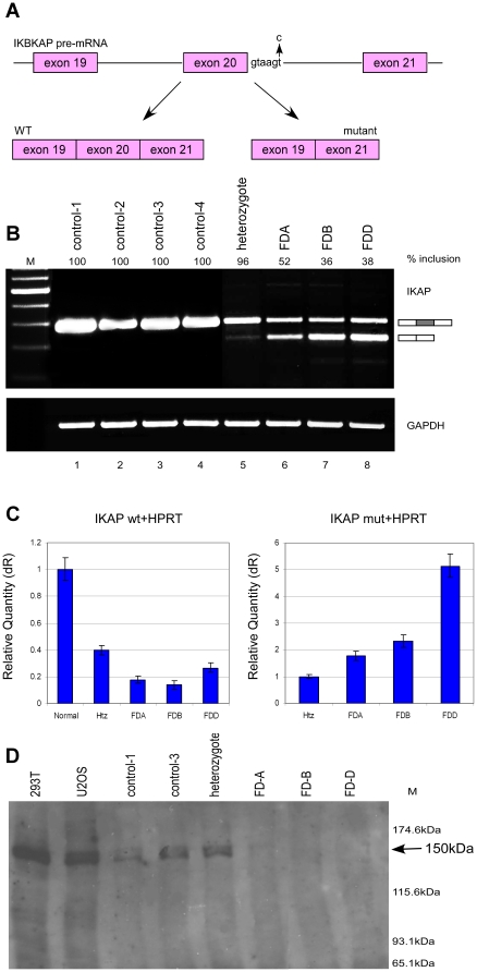 Expression of IKAP mRNA and protein in FD cells. ( A ) Schematic diagram illustrating the area in IKAP responsible for FD. The FD mutation at position six of exon 20 splice donor site is shown by an arrow. In FD patients, two mRNA isoforms, one containing exon 20 and one without, can be present. ( B ) RT-PCR analysis of IKAP mRNA. RNA was extracted from control, heterozygous and FD cells and the endogenous splicing products were separated on a 2% agarose gel after RT-PCR reaction using primers to exon 19 and 21. Isoforms were quantified using ImageJ. GAPDH was used as control for cDNA amounts. ( C ) QPCR analysis of the IKAP mRNA. Left side: Level of exon 20 inclusion isoform (wt). Relative quantity represents normalization to control cells. Right side: Level of exon 20 skipped isoform (mut). Relative quantity represents normalization to heterozygous (Htz) cells. All values were normalized to HPRT mRNA. QPCR experiments were amplified in triplicate; results shown are mean values ± SD. ( D ) Analysis of IKAP protein levels. Western blotting of extracts from the indicated cell lines using an anti-IKAP antibody (Santa Cruz Biotechnology, D-17). Band intensities were quantified using ImageJ.