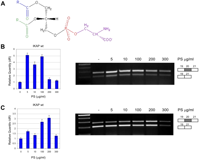PS raises IKAP mRNA levels in FD cell lines. ( A ) Chemical structure of PS. ( B ) FDA cells or ( C ) FDB cells were treated with 0, 5, 10, 100, 200 and 300 µg/ml PS. RNA was extracted after 24 hr for FDA cell line and after 48 hr for FDB cell line. Left side: QPCR analysis of the level of exon 20 inclusion isoform (wt). Data were normalized to levels in untreated control cells. Right side: RT-PCR analysis of the splicing of the endogenous IKAP mRNA in FD cells. All splicing products were separated on a 2% agarose gel after RT-PCR reaction using primers to exons 19 and 21. The PCR products were eluted and sequenced. All experiments were repeated independently three times, and the results shown are representative of an average experiment. QPCR experiments were amplified in triplicate; results shown are mean values ± SD.