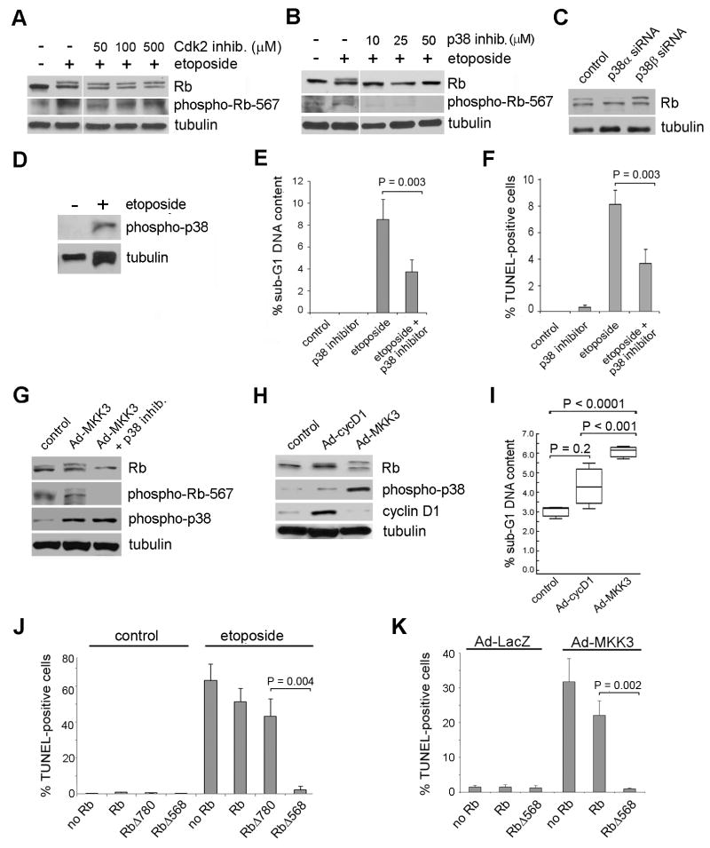 Genotoxic stress triggers phosphorylation of Rb on Ser567 by p38. ( A ) Mel202 cells were treated with 12.5 μM of etoposide and 0, 50, 100, or 500 μM of the Cdk2 inhibitor, Roscovitine, for 48 h and then immunoblotted for total Rb and phospho-Rb-567. See Supplemental Figure 1B for confirmation of Roscovitine activity. ( B ) Mel202 cells were treated with p38 inhibitor SB203580 for 48 h and immunoblotted for total Rb and phospho-Rb-567. See Supplemental Figure 1C for confirmation of p38 inhibitor activity. ( C ) siRNA against p38α or p38β was transfected into Mel202 cells at a final concentration of 50 nM for 72 h, all samples were treated with 12.5 μM of etoposide for 48 h, and immunoblotted for Rb. ( D ) Mel202 cells were treated with or without 12.5 μM of etoposide for 48 h and immunoblotted for phospho-p38. ( E ) Mel202 cells were treated with 4 μM etoposide, 30 μM of p38 inhibitor, or both for 48 h. Propidium iodide was used in order to determine the sub-G1 DNA content by flow cytometry. ( F ) Mel202 cells were treated with 12.5 μM etoposide, 30 μM of p38 inhibitor, or both for 48 h. TUNEL staining was performed to determine the percent of apoptotic cells. ( G ) Mel202 cells were treated with Ad-LacZ or Ad-MKK3 at an MOI of 100 with or without 30 μM of p38 inhibitor and immunoblotted for Rb, phospho-Rb-567 or phospho-p38. ( H ) Mel202 cells were treated with Ad-GFP, Ad-cycD1, or Ad-MKK3 at an MOI of 30 for 48 h and immunoblotted for total Rb, phospho-p38, or cyclin D1. ( I ) Flow cytometry was performed using propidium iodide staining to determine the percent of cells in sub-G1. Mel202 cells were treated with Ad-cycD1 or Ad-MKK3 at an MOI of 30 for 48 h. ( J ) Mel501 cells were transfected with SKTT control, Rb, RbΔ780, or RbΔ568 for 72 h and treated with 12.5 μM etoposide for 48 h. TUNEL staining was performed. ( K ) Mel501 cells were transfected with SKTT control, Rb, or RbΔ568 for 72 h and treated with Ad-MKK3 or Ad-LacZ MOI 15 for 48 h. TUNEL staining was pe